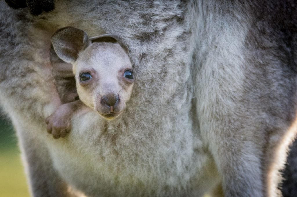 Joey Kangaroo in mothers pouch