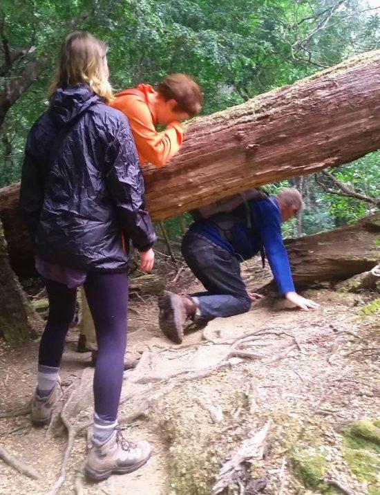 Climbing under tree on Savage River Walk, Tarkine Rain Forest