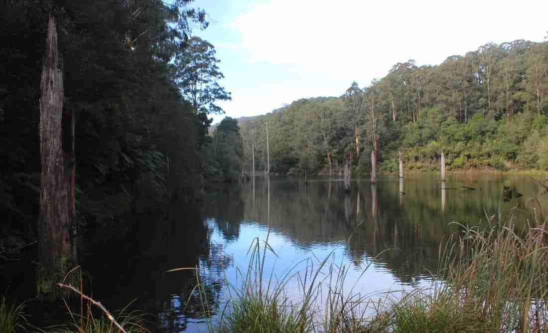 Dead trees in Lake Elizabeth, Otways, Victoria